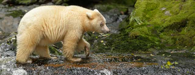 Kermode Bear, or 'Spirit Bear'
